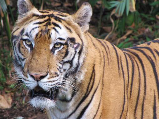 Eye to Eye with a Sumatran Tiger!!!